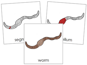 Worm Nomenclature Cards (red) - Montessori Print Shop