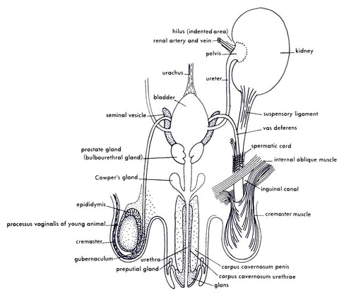Male sexual organ system showing corpus cavernosum penis