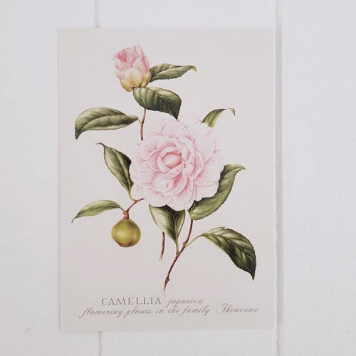 Single Camellia All Occasion Greeting Card. Perfect for any event or occasion or just to say to someone you're in my thoughts. Card is blank inside. | Bliss Gifts & Homewares | Unit 8, 259 Princes Hwy Ulladulla | South Coast NSW | Online Retail Gift & Homeware Shopping | 0427795959, 44541523