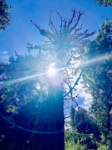sun-shining-behind-giant-tree