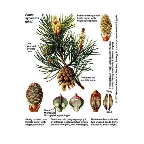 PINE TREE SEED EVOLUTION - Canadian Pine Pollen Company