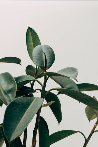 rubber plant air filtering cleans home air