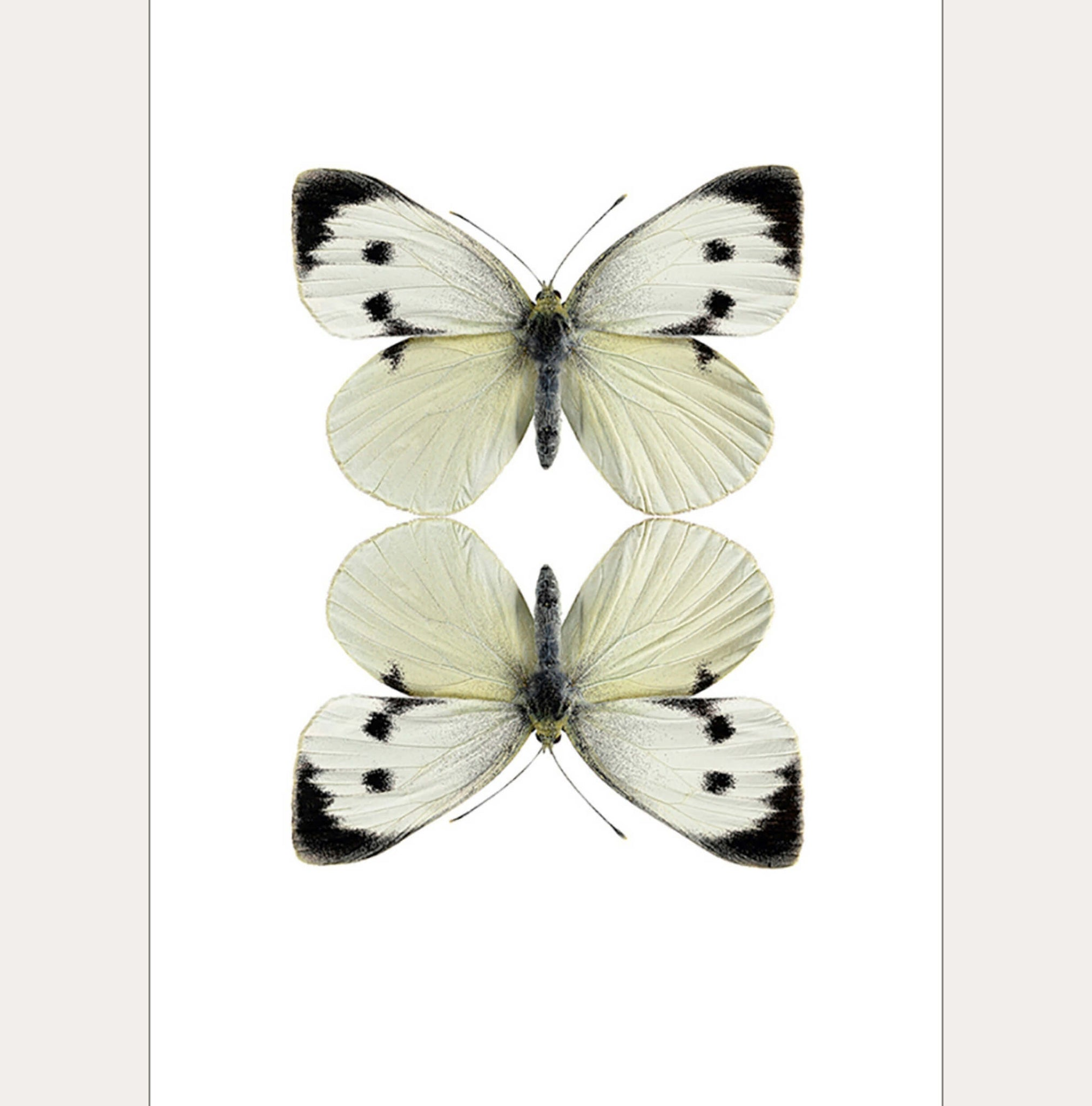 Macro Photography Greeting Card with Envelope Two White Butterflies - Unik by Nature