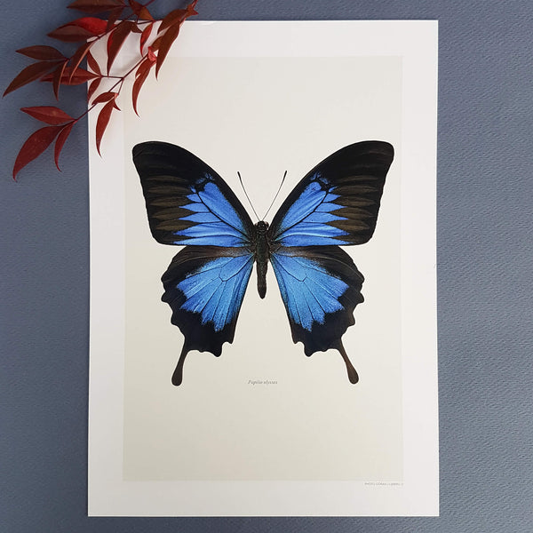 Liljebergs Macro Photography Artprint Papilio Ulysses - Unik by Nature
