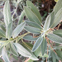 Sage Brush Oil