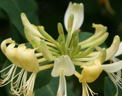 Honeysuckle Oil