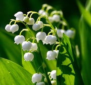 Lily of the Valley Oil