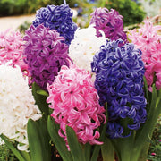 Hyacinth Flower Oil