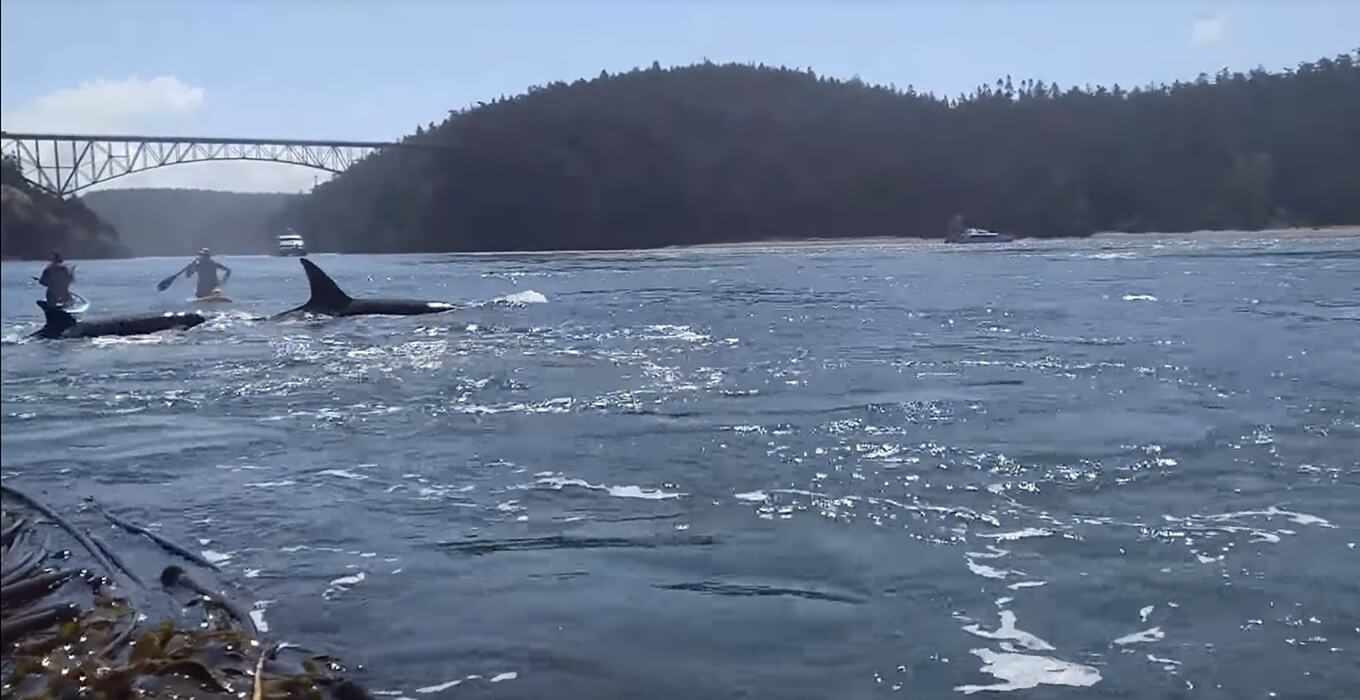 Video - Paddle Boarding with a Pod of Orcas