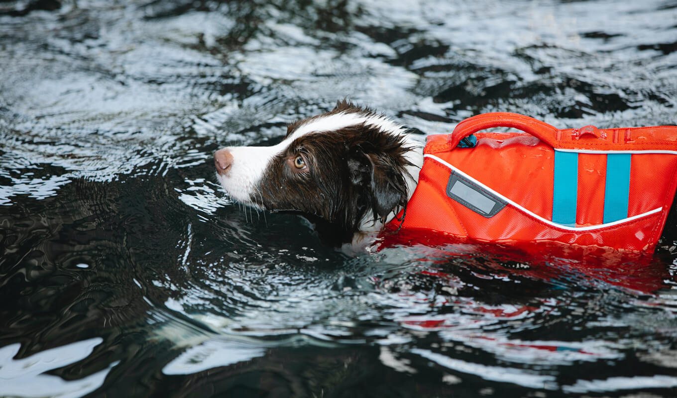 Dog swimming while wearing a red life jacket