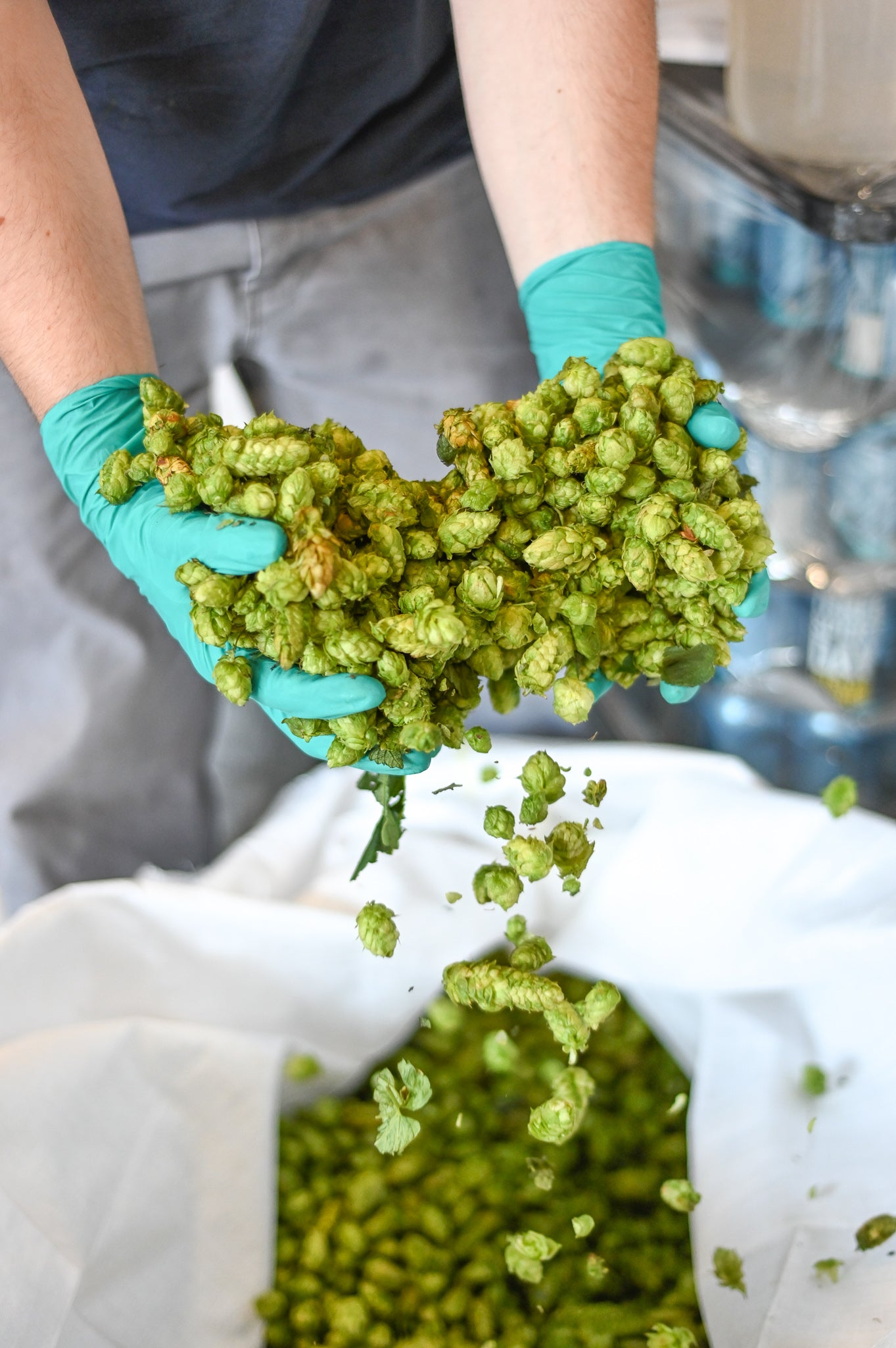 Everybody's Brewing fresh Simcoe hops from Loza Farms