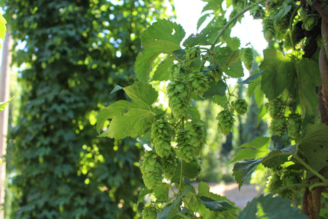 Lotus Hop on the Vine - Courtesy of Hopsteiner