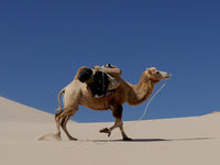 Camel in the desert about as thirsty as Ruschia 'Nana'