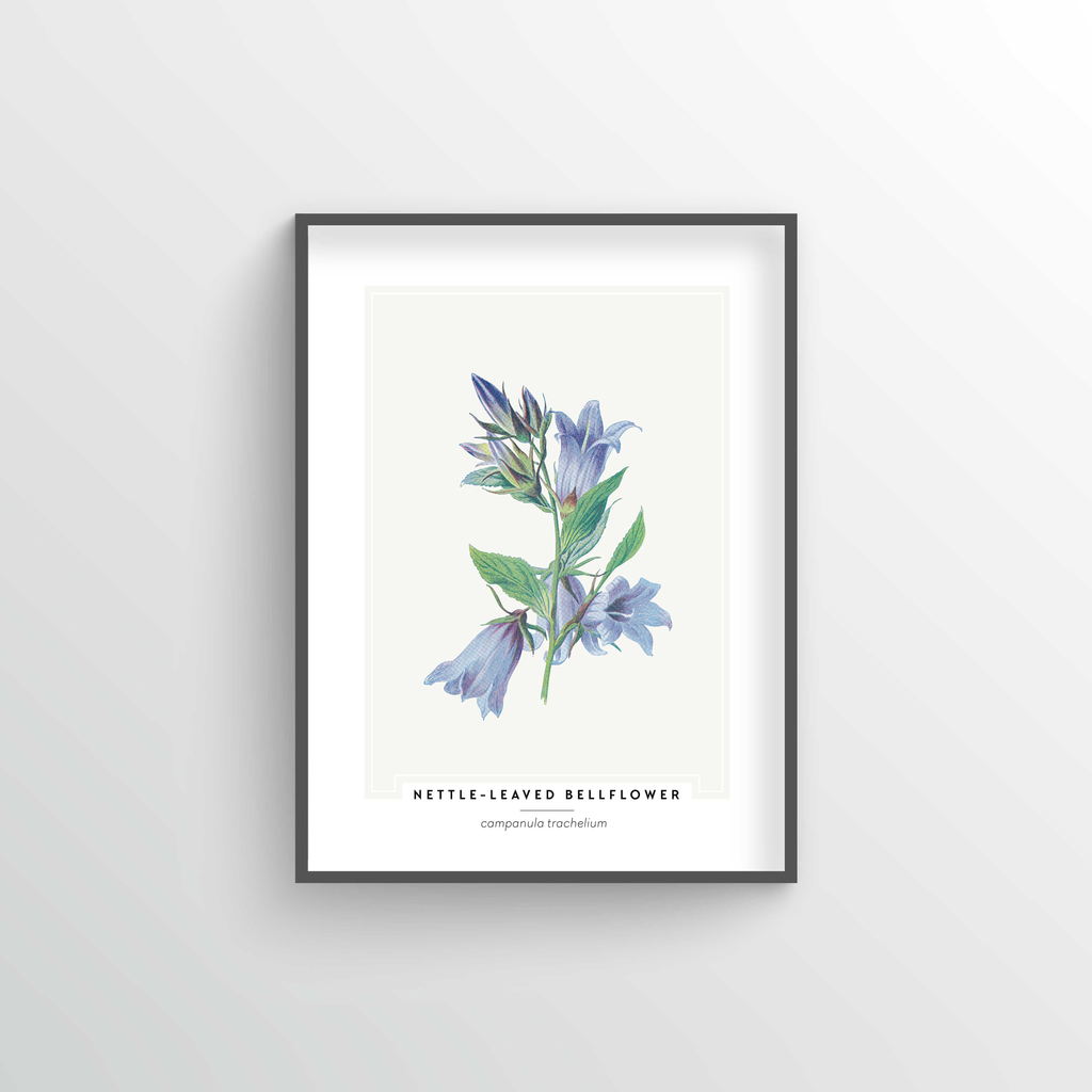 Nettle Leaved Bellflower Botanical Art Print