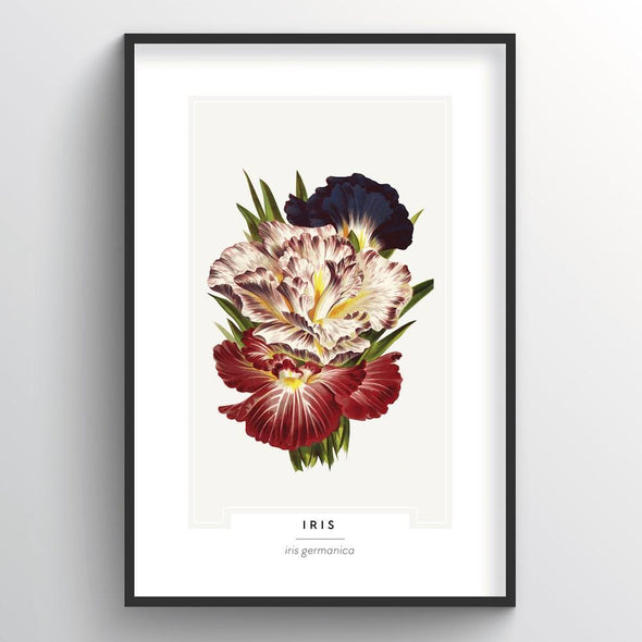 Iris Botanical Art Print