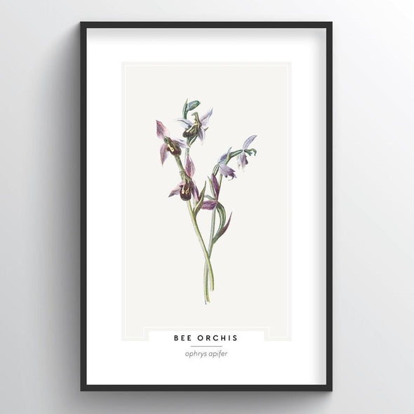 Bee Orchis Botanical Art Print
