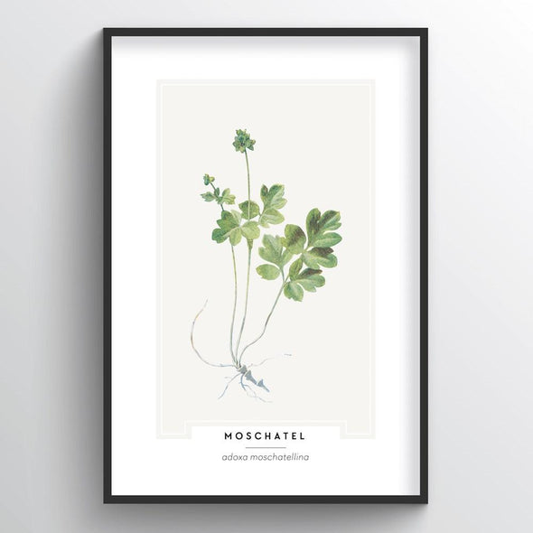 Moschatel Botanical Art Print