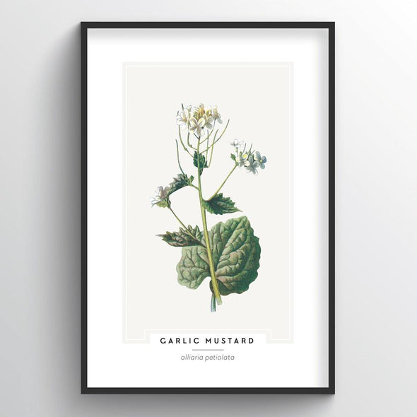 Garlic Mustard Botanical Art Print