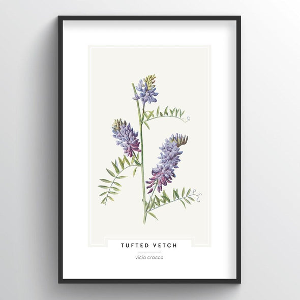 Tufted Vetch Botanical Art Print
