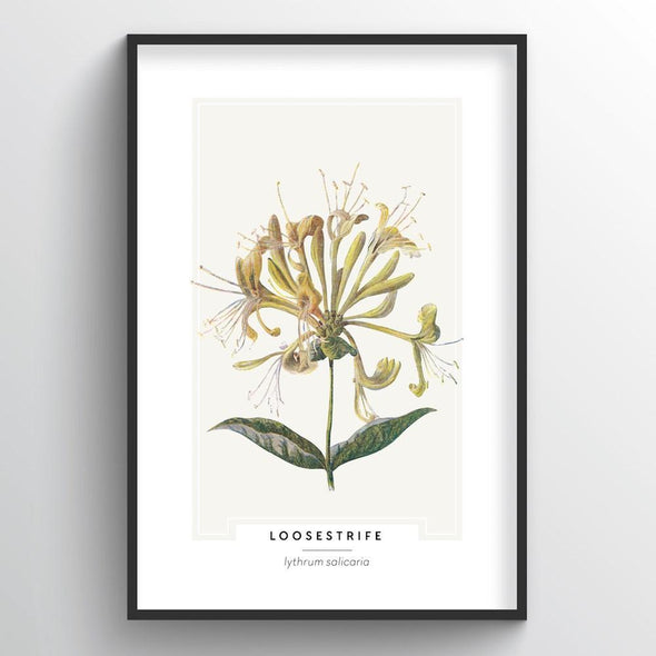 Loosestrife Botanical Art Print