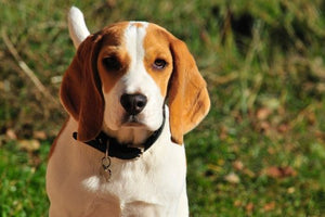 Beagle Dogs - A Popular Small Breed Dog Throughout The World