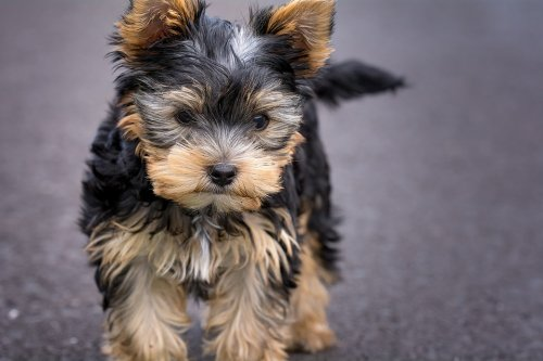 Yorkshire Terriers (Yorkies) - Pint-Sized Bundles of Love and Joy!