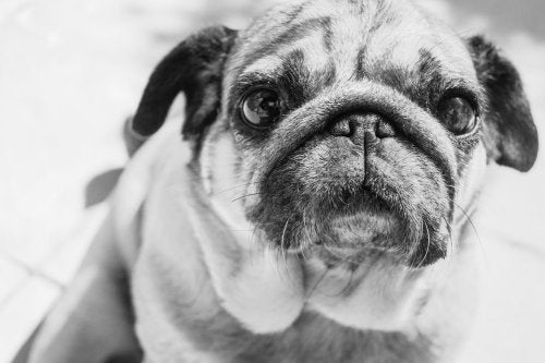 Pug Dog Closeup