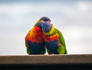 Lorikeet love