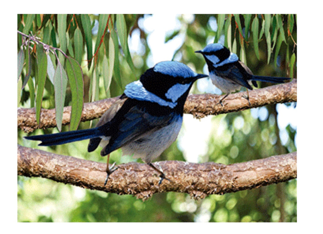 Fairy Wrens A3 Placemat