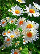 Spring Daisy - 5D Diamond Painting Kit