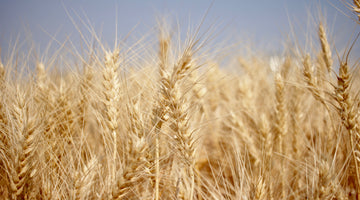 Everything You Wanted to Know About Wheat Harvest