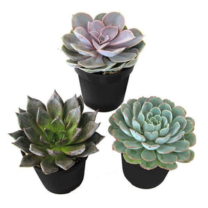 "4"" Succulents - 3 for $25"