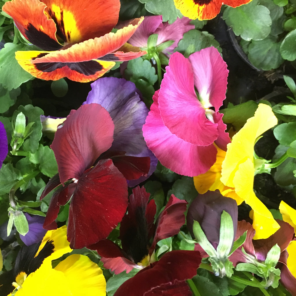 Winter-Flowering Pansies (9 cm Pots) Mixed Colours (Free UK Postage)