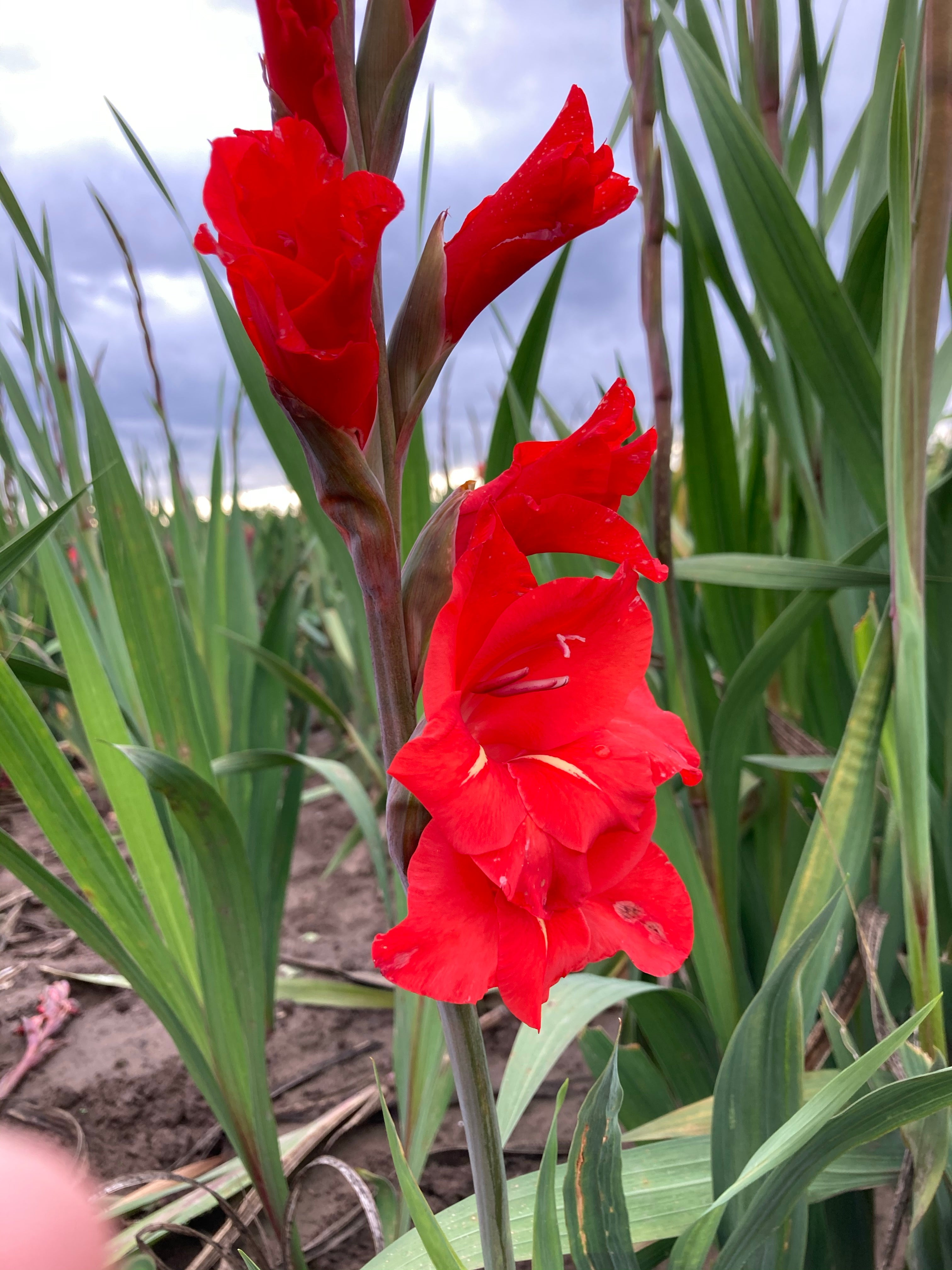 5 x Gladiolus 'Traderhorn' (Corms To Plant At Home) Free UK Postage