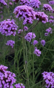 Mixed Colour Verbena (Young Transplants or Plugs) Free UK Postage