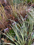 Selection of Mixed Ornamental Grasses (Young Transplants) Free UK Delivery