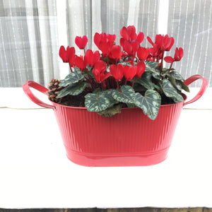 Mixed Colour Cyclamen Plants in 9cm Dia Pots (Free UK Postage)