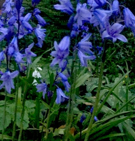 50 x Scilla hispanica (Spanish Bluebell) Bulbs (Spanish Hyacinth)   (Free UK Postage)