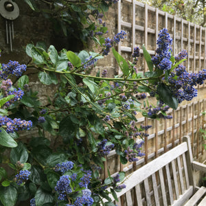 Ceanothus Plants (Young Transplants or Plugs) Free UK Postage