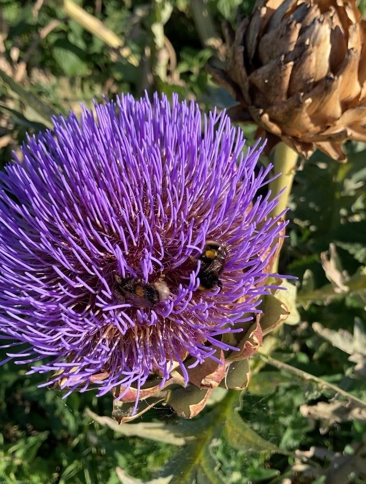 Artichoke Plants (Small Transplants About 5cm) Free UK Postage