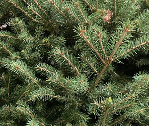 Real Christmas Tree 'Norway Spruce' (Containerised) 95cm Height Free UK Shipping