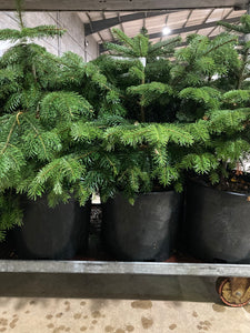 Real Christmas Tree 'Nordmann Fir' (Containerised) 95cm Height Free UK Shipping