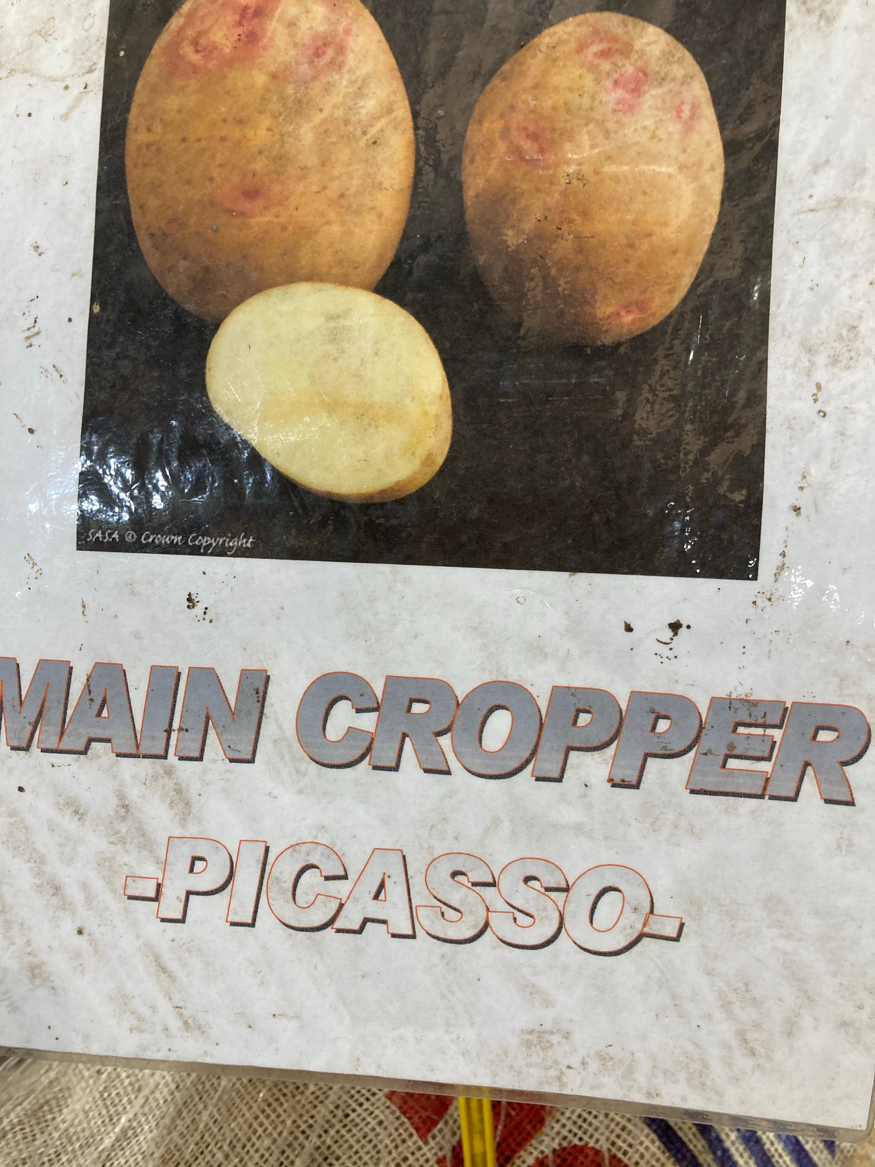 Seed Potatoes for Planting 'Picasso' Main Crop Variety (Free UK Postage)