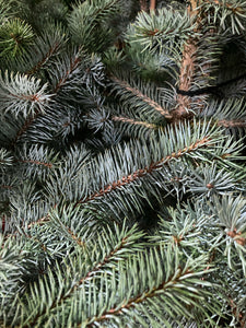 Conifer Tree 'Blue Spruce' (Containerised) 95cm Height Free UK Shipping