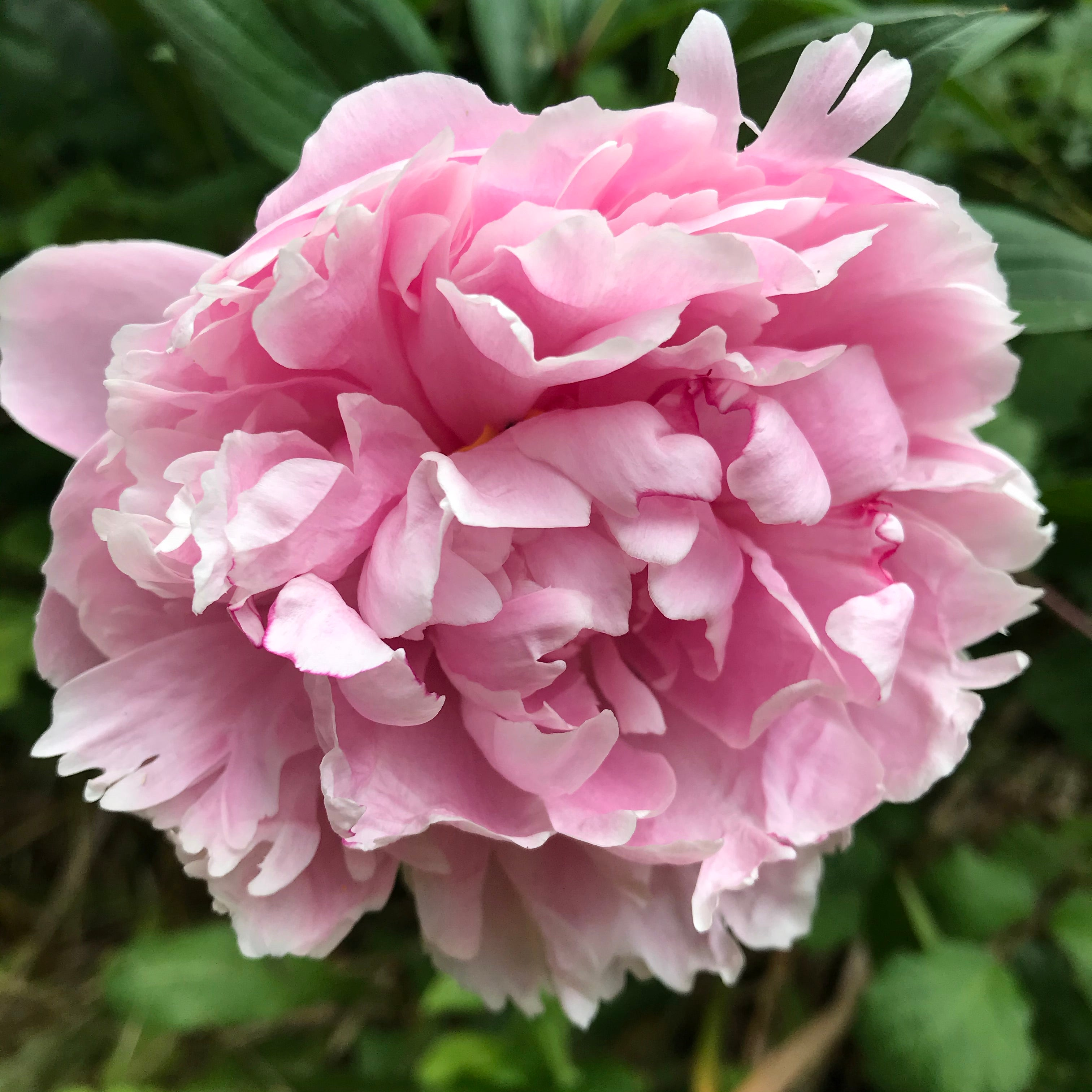 Pink Peony 'Sarah Bernhardt' (Sections of roots) (Free UK Postage)