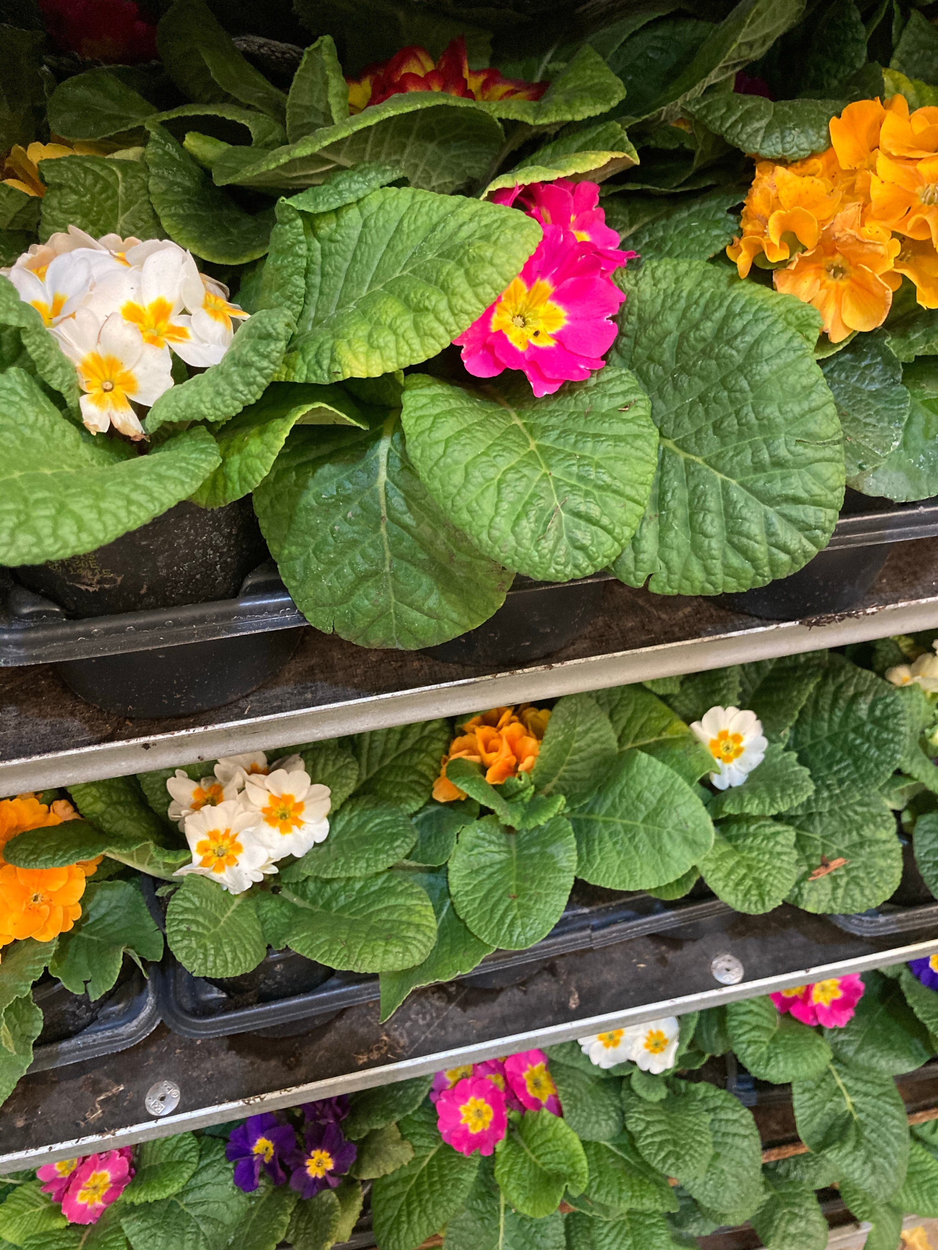 Winter-Flowering Polyanthus (9 cm Pots) Mixed Colours (Free UK Postage)