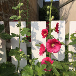 Hollyhocks (Alcea rosea) (Mixed) (Young Transplants) (Free UK Postage)
