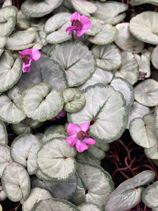 Pink Cyclamen Plants in 9cm Dia Pots (Free UK Postage)