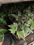 5 x Variegated Ivy Plant (Containerised) Free UK Shipping