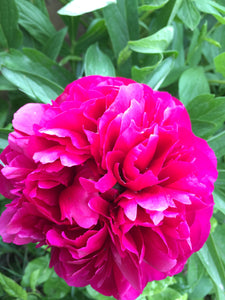 3 x Striking Peony 'Red Charm' (Sections of roots) (Free UK Postage)